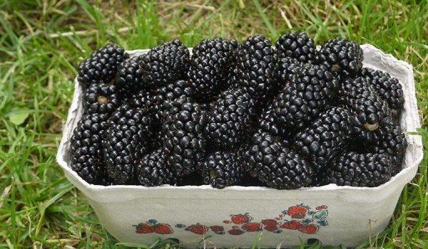 Урожай спелых ягод ежевики Натчез