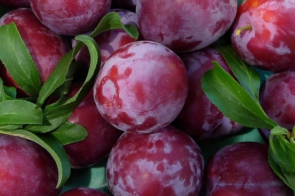 Описательные характеристики сорта сливы Китайская, скороплодная