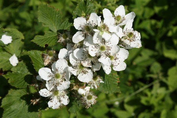 Цветки ежевики Рубен