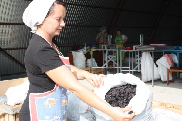 Для получения чернослива необходима специальная подготовка ягод