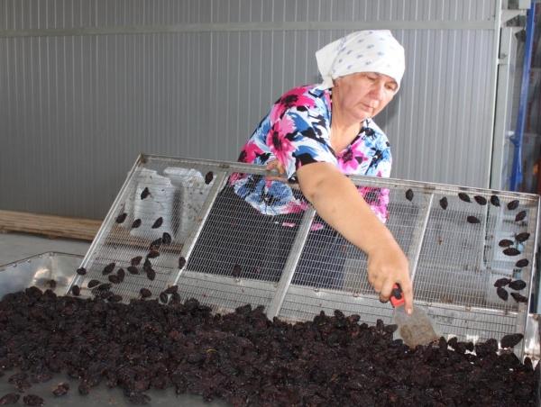 Для изготовления чернослива в производственных условиях используют многоярусные сушильные шкафы или туннельные (канальные) сушилки