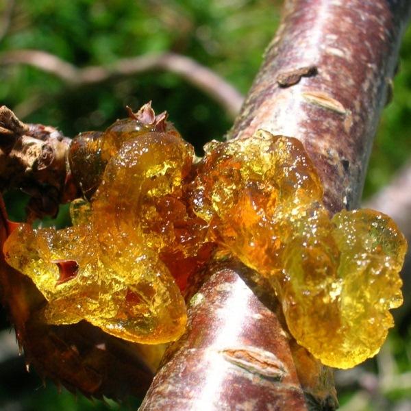 Заболевание вишни гоммоз