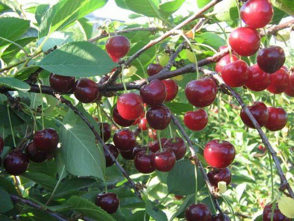 Плоды вишни Щедрая