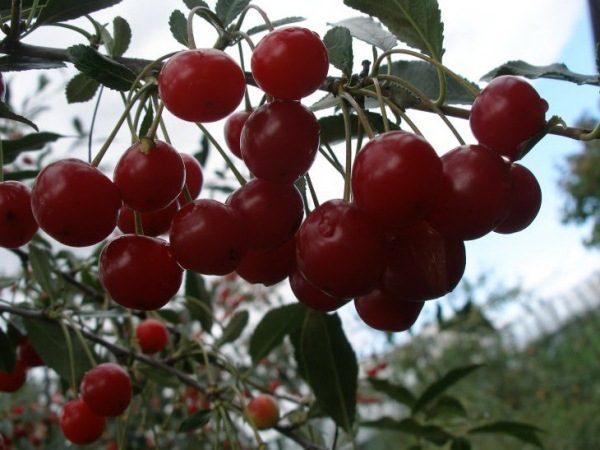Вишня сорт Уральская рубиновая