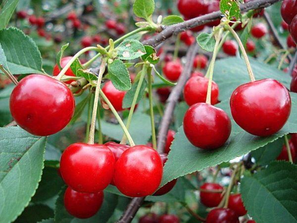 Одно дерево кустового типа Уральской рубиновой вишни способно дать до 7 кг ягод
