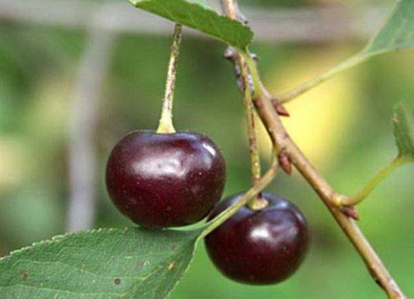 Спелые ягоды Уральской рубиновой вишни