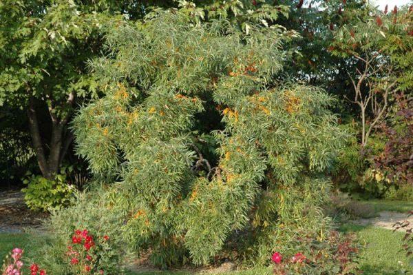 Облепиха - агрессивное растение, которое очень быстро размножается