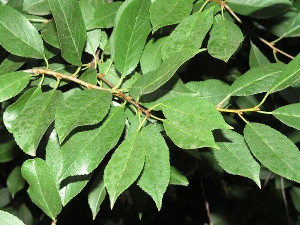 В листьях вишни содержится множество полезных веществ как и в ягодах