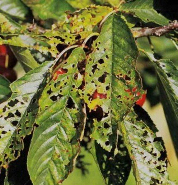 Дырчатая пятнистость или клястероспориоз вишни