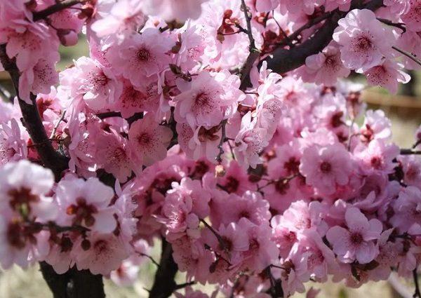 Цветение колоновидной черешни