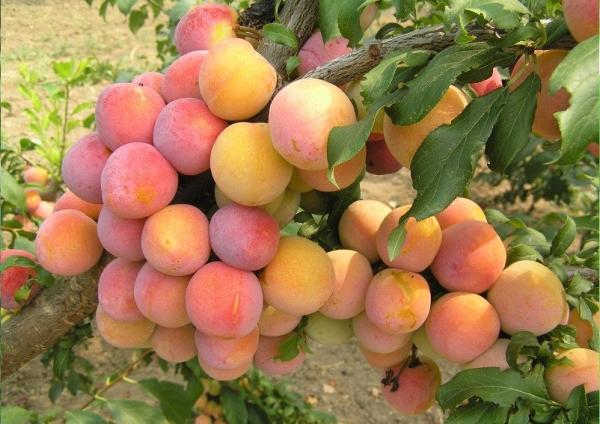 Слива сорта Золотой шар высокоурожайная, плоды с оригинальным привкусом персика и ананаса