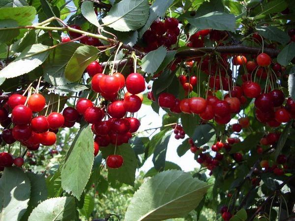 Степная вишня ежегодно дает высокий урожай