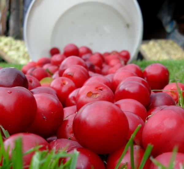 Слива сорта Уральская красная способна выдерживать сильные морозы, идеально адаптирована для уральского климата