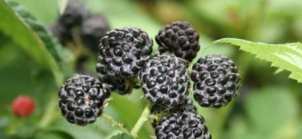 Сорт черной малины Уголек