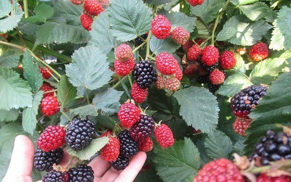 Кусты с ягодами Трипл краун