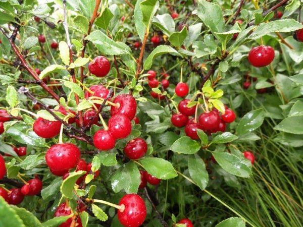 Плоды вишни Степная