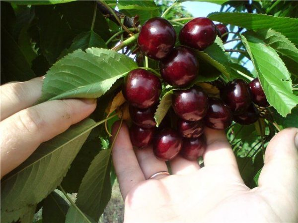 Плоды спелой колоновидной черешни