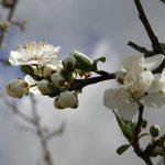 Из цветков сливы можно приготовить целебный отвар или настой