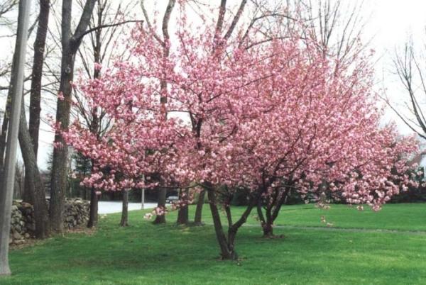 Сакура Канзан светолюбива, цветет массивными душистыми розовыми цветками