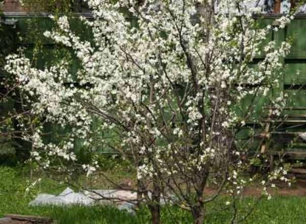 Уральская рубиновая вишня в период цветения