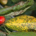 Повреждение ягод вишни коккомикозом
