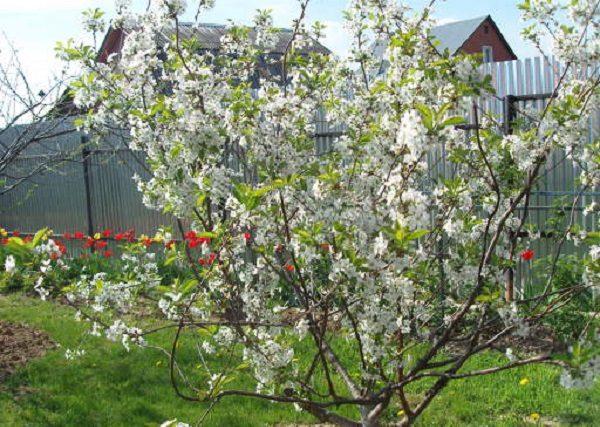 Цветение вишни Любская