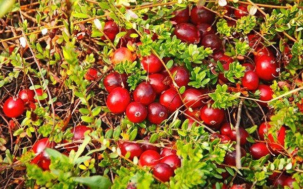 Куст клюквы с плодами