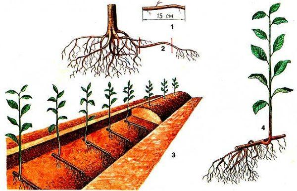 Размножение вишни корневыми черенками