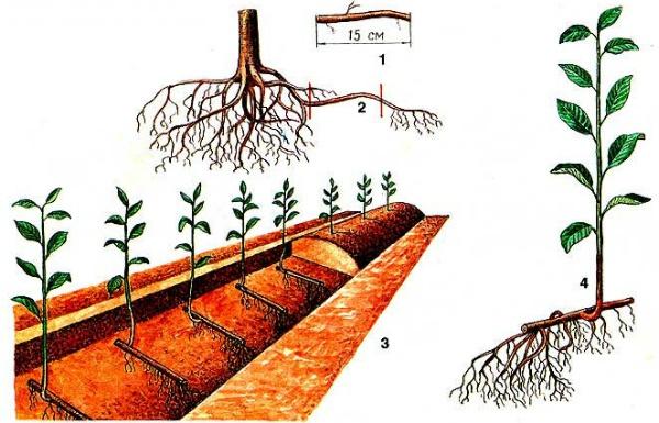 Побег отделяется от основных корней материнской сливы, помещается в хорошо увлажненную почву, верхушка прищипывается