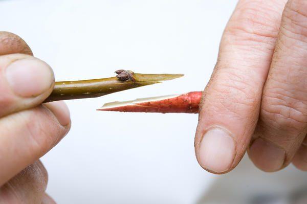 Простой способ прививки вишни - копулировка