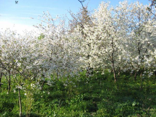 Цветение Щедрой вишни