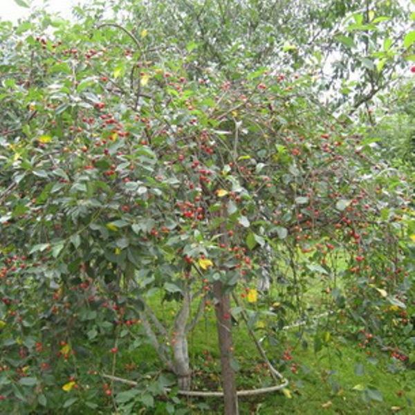 Сорта вишни для урала