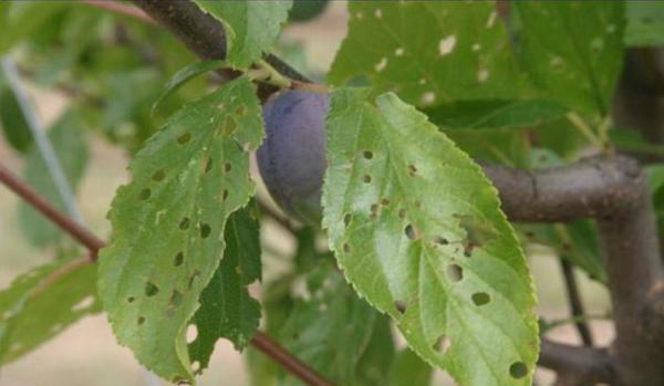 Клястероспориоз, кроме листьев, заражает ветви, ствол и даже плоды