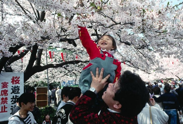 Когда цветет сакура, в Японии отменяются рабочие дни и объявляется национальный праздник Ханами
