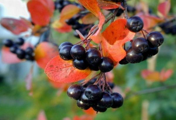 Сроки и правила сбора черноплодной и красной рябины для заготовок и хранения