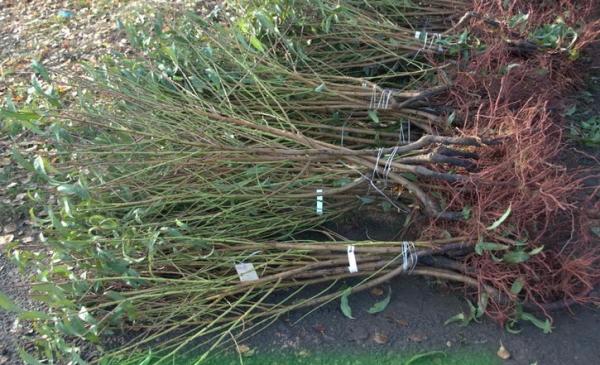 Для посадки сливы нужно подготовить саженцы, стараясь не повредить корни