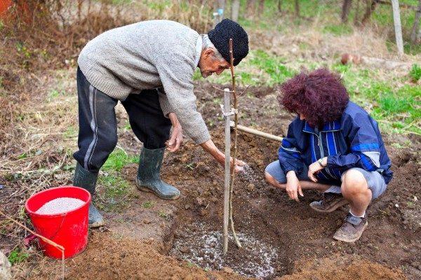 Для саженцев Уральской рубиновой вишни необходима подкормка