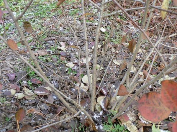 Саженец черноплодной рябины пригибают к земле и прижимают, укрывают лапником