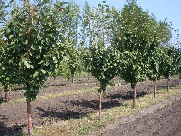 При посадке вишни Дюк необходимо соблюдать дистанцию между деревьями