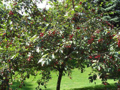 Дерево Ипуть со спелыми ягодами черешни