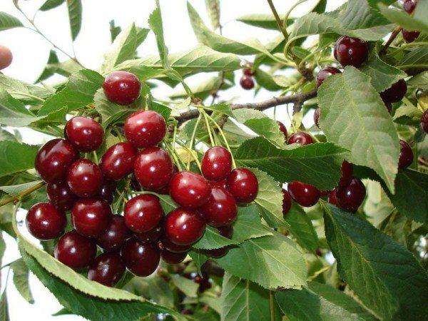 Сорт вишни Алтайская ласточка