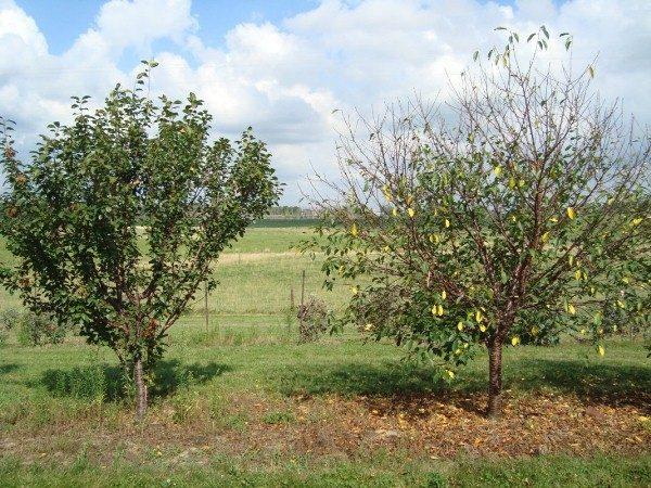 Листья с вишни опадают в июле