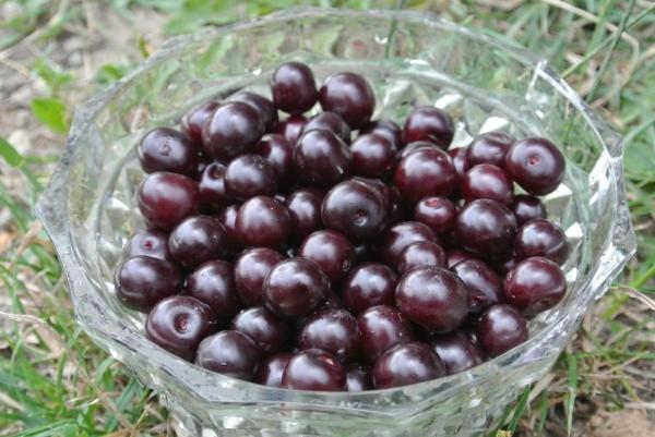 Вишня сорта Владимирская имеет много форм, на вкус кисло-сладкая, черно-красного цвета