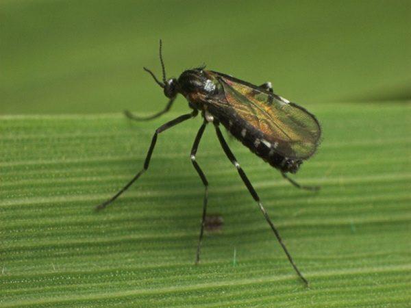Малинная побеговая галлица (малинный комарик)