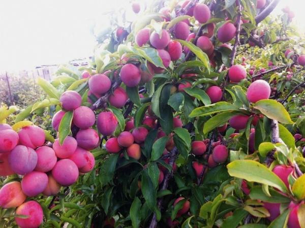 Слива сорта Маньчжурская красавица скороплодная, засухоустойчивая, спелые плоды быстро осыпаются