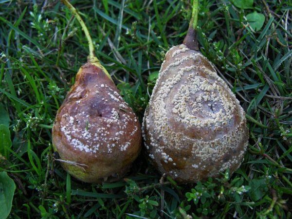Плодовая гниль груши или манилиоз