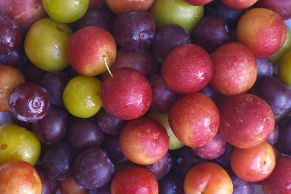 Выбираем лучшие сорта сливы для выращивания по характеристикам