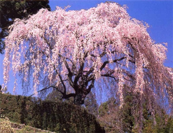 Вишня-сакура относится к декоративным растениям, ее плоды не пригодны для приема в пищу