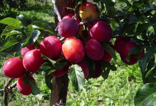 Слива сорта Уральская красная: описание дерева, посадка и уход, борьба с болезнями и вредителями