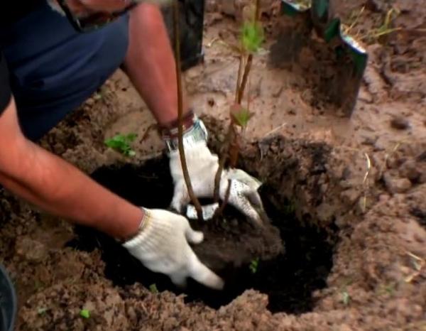 В легких почвах саженец заглубляют на 6 см, в тяжелых почвах на 2-3 см, корневая шейка должна остаться на 1-3 см ниже уровня грунта